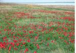 море тюльпанов вблизи пгт Красногвардейское